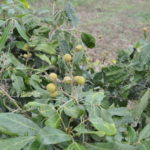 sehr fruchtbar in Pailin